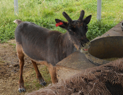 Rebecca Batey's research project tested a growth supplement for reindeer in Alaska.
